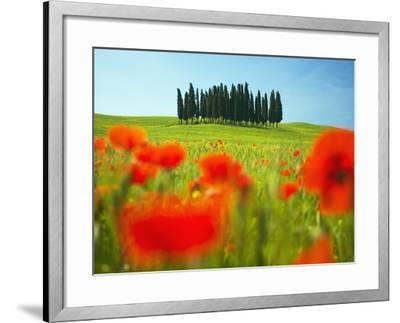 Italian Cypress Trees in Cornfield-Frank Krahmer-Framed Photographic Print