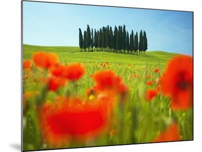 Italian Cypress Trees in Cornfield-Frank Krahmer-Mounted Photographic Print