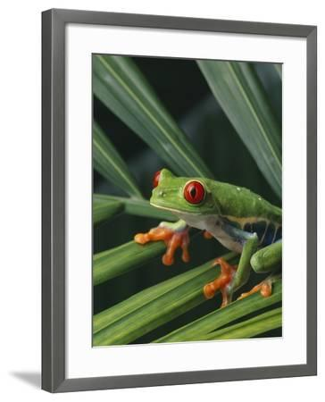 Red Eyed Tree Frog on Plant--Framed Photographic Print