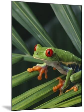 Red Eyed Tree Frog on Plant--Mounted Photographic Print