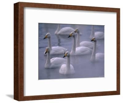 Whooper Swans in Water--Framed Photographic Print