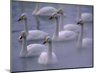 Whooper Swans in Water--Mounted Photographic Print