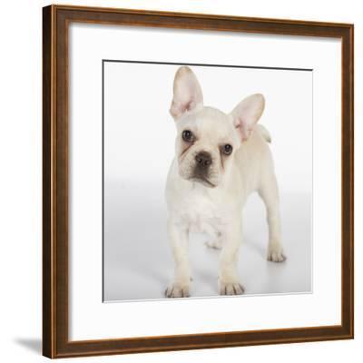 French Bulldog--Framed Photographic Print