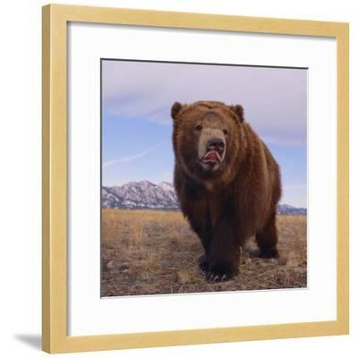 Grizzly Licking Its Chops--Framed Photographic Print