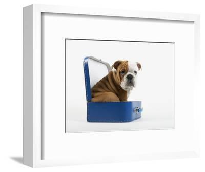 English Bulldog Puppy Sitting in a Lunch Box Photographic Print by Peter M   Fisher | Art com