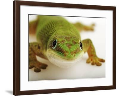 Day Gecko-Martin Harvey-Framed Photographic Print