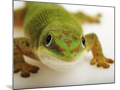 Day Gecko-Martin Harvey-Mounted Photographic Print