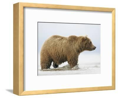 Shaggy Brown Bear in Stream-Arthur Morris-Framed Photographic Print
