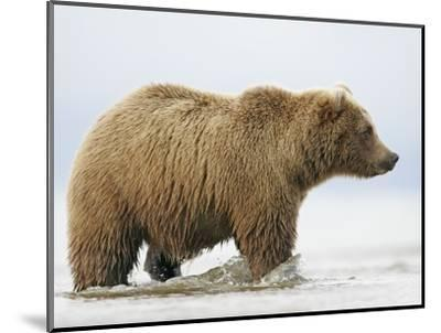 Shaggy Brown Bear in Stream-Arthur Morris-Mounted Photographic Print