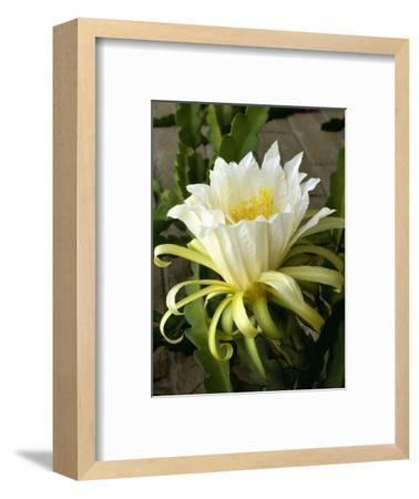 Climbing Cactus Flower--Framed Photographic Print