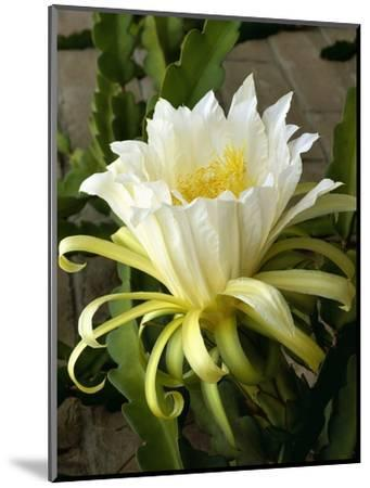 Climbing Cactus Flower--Mounted Photographic Print