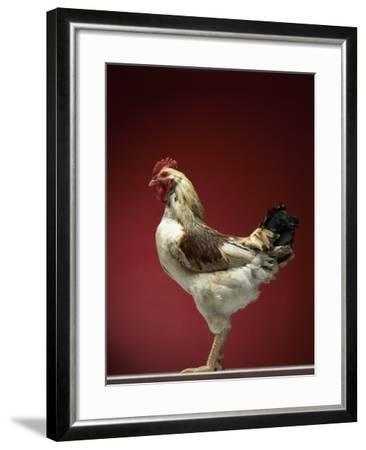 Rooster-Adrianna Williams-Framed Photographic Print