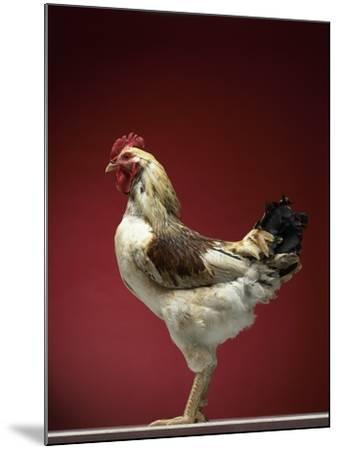 Rooster-Adrianna Williams-Mounted Photographic Print