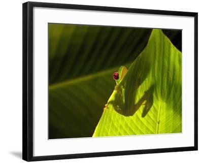 Red-eyed Tree Frog on Leaf-Keren Su-Framed Photographic Print