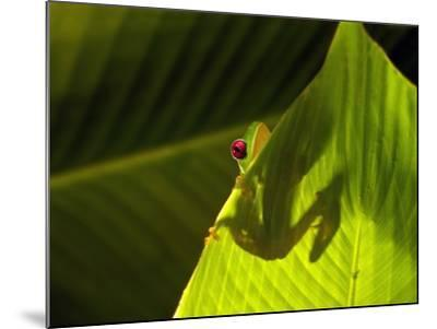 Red-eyed Tree Frog on Leaf-Keren Su-Mounted Photographic Print