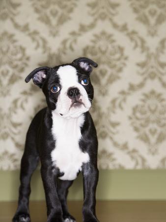 Boston Terrier Puppy-Don Mason-Framed Photographic Print