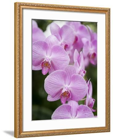 Rare, beautiful orchids bloom in a Florida garden-Dana Hoff-Framed Photographic Print