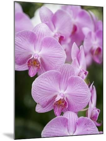 Rare, beautiful orchids bloom in a Florida garden-Dana Hoff-Mounted Photographic Print