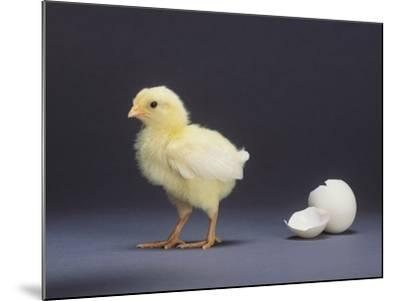 Leghorn Chick--Mounted Photographic Print