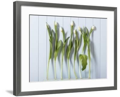 White Tulips in a Row--Framed Photographic Print