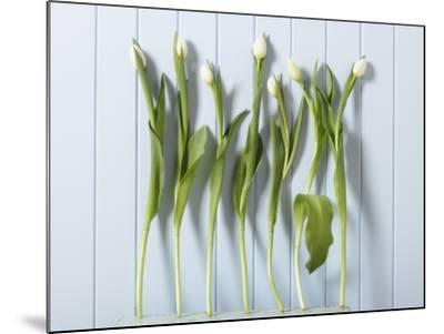 White Tulips in a Row--Mounted Photographic Print