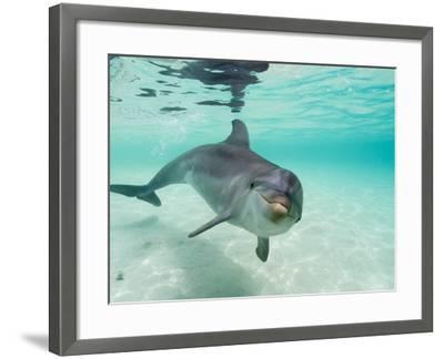 Bottlenose Dolphin-Stuart Westmorland-Framed Photographic Print