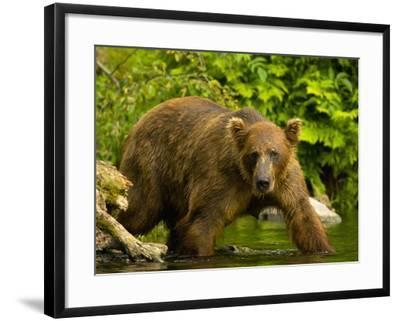 Brown Bear Fishing For Salmon-Blaine Harrington-Framed Photographic Print