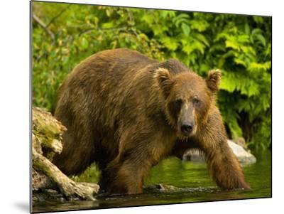 Brown Bear Fishing For Salmon-Blaine Harrington-Mounted Photographic Print