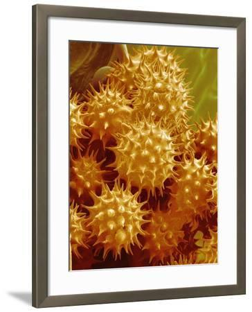 Sunflower Pollen-Micro Discovery-Framed Photographic Print