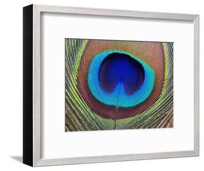 Peacock Feather-Tom Grill-Framed Photographic Print