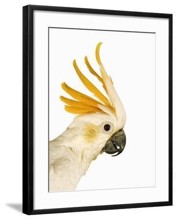 Cockatiel-Martin Harvey-Framed Photographic Print