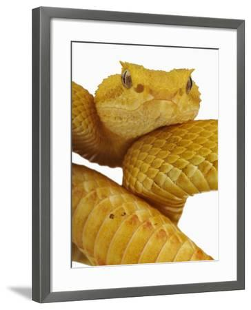 Eyelash Viper-Martin Harvey-Framed Photographic Print
