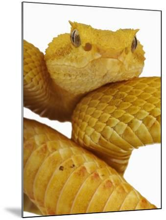 Eyelash Viper-Martin Harvey-Mounted Photographic Print