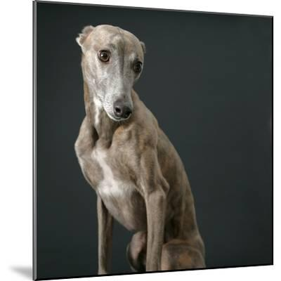 Whippet-Parque-Mounted Photographic Print