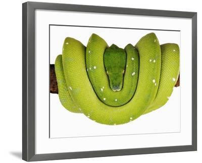 Green Tree Python-Martin Harvey-Framed Photographic Print