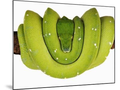 Green Tree Python-Martin Harvey-Mounted Photographic Print
