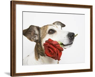 Dog with Red Rose-Ursula Klawitter-Framed Photographic Print