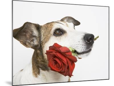 Dog with Red Rose-Ursula Klawitter-Mounted Photographic Print