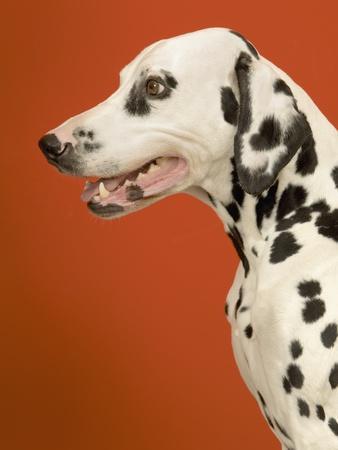 Dalmatian Dog--Framed Photographic Print