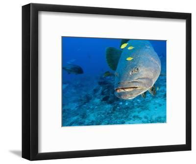 Queensland Grouper-Stuart Westmorland-Framed Photographic Print