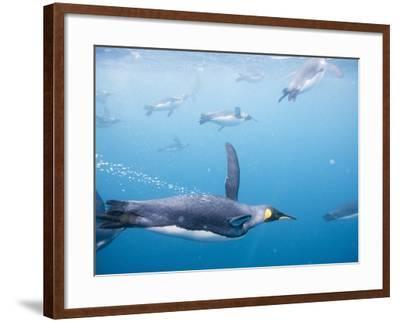 King Penguins Underwater-Paul Souders-Framed Photographic Print
