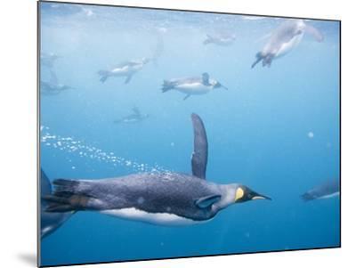 King Penguins Underwater-Paul Souders-Mounted Photographic Print