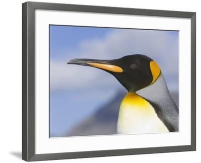 King Penguin-John Eastcott & Yva Momatiuk-Framed Photographic Print