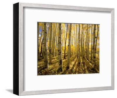 Aspen Trees in Autumn-John Eastcott & Yva Momatiuk-Framed Photographic Print