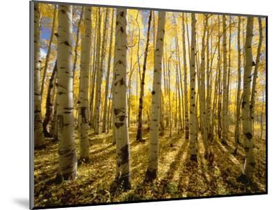 Aspen Trees in Autumn-John Eastcott & Yva Momatiuk-Mounted Photographic Print