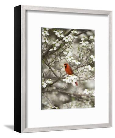 Close-up of Cardinal in Blooming Tree-Gary Carter-Framed Photographic Print