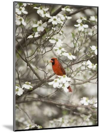 Close-up of Cardinal in Blooming Tree-Gary Carter-Mounted Photographic Print