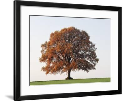 Oak Tree in Autumn-Frank Lukasseck-Framed Photographic Print