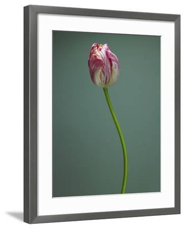 Pink and white tulip--Framed Photographic Print