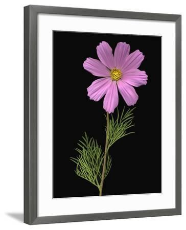 African Daisy--Framed Photographic Print